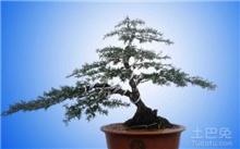 红豆杉的盆景养护