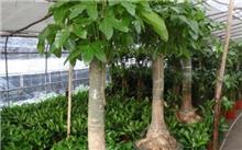 发财树冬天怎么养? 发财树叶子发黄怎么办-苗木栽培养