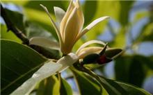 白兰花的栽培技术及其应用