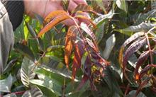鲜嫩可口蔬菜---红芽绿香椿