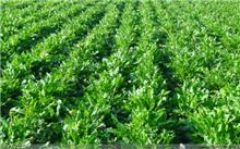 蒲公英温室栽培技术