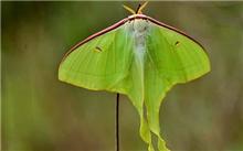樗蚕蛾的防治方法|为害特点|形态特征|发生规律