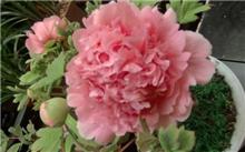 盆栽牡丹可一年多次开花