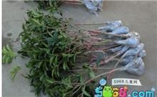 九里香繁殖栽培技术