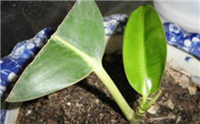 高压繁殖橡皮树