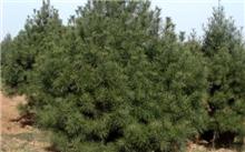 油松种植技术