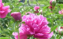 芍药及栽培技术