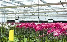 温室蝴蝶兰种苗生产技术