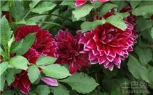 大丽花品种分类
