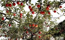 苹果树秋季修剪技术