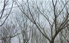 合欢树的特性介绍