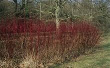 红瑞木形态特征