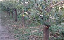 高寒地区山楂树栽培管理技术