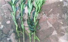 夹竹桃夏季硬枝扦插需要注意哪些