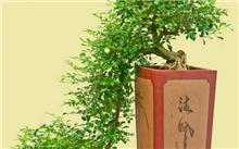怎样栽培九里香才会芳香远飘?