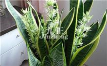 虎尾兰的观赏特性与养护管理