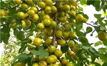 如何提高设施杏树坐果率