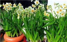 中国水仙花的养殖方法,水仙花家庭养殖养护管理-苗木栽