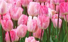 郁金香春节开花促成栽培经验谈