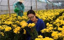 如何种菊花