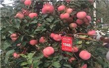 苹果枝条垂下来,产量提上去