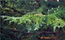 红松树种的分布区域?