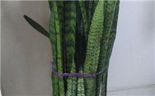 虎尾兰类栽培