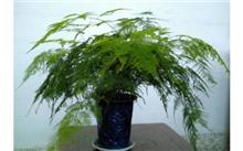 文竹的栽培养护