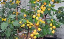 杏树的盆栽技术