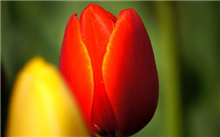 怎样让郁金香年年开花