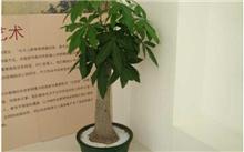 发财树的养殖技术及其管理