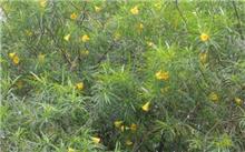 黄花夹竹桃属