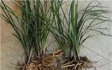 下山兰花的形态鉴别与叶上基本特征(品种/鉴别)