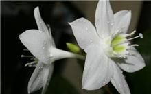 白兰花的栽培管理技术