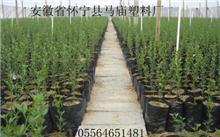 葡萄营养袋育苗