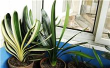 家养君子兰的养殖方法,冬季君子兰的家庭养护管理-苗木