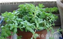 垂盆草的繁殖