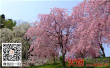 樱花树如何换土复壮