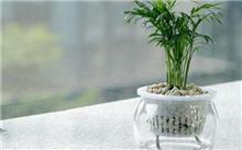 袖珍椰子的栽培技术