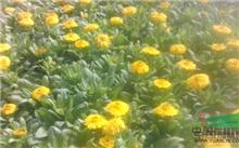 盆栽花卉�D�D金盏菊