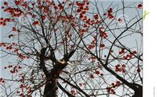杏树采用宜接播种有哪些好处