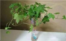 常春藤扦插繁殖技术