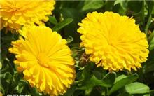 金盏菊主要品种