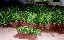 大叶黄杨扦插快繁技术