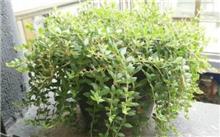 垂盆草栽培技术