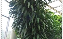 香龙血树及其栽培