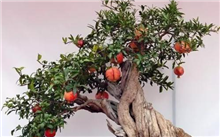 树桩盆景的选材和盆景制作方法
