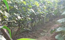 七月葡萄树管理技术