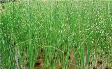花叶水葱栽培技术