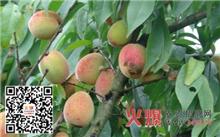 盛果期桃树夏季修剪技术要点